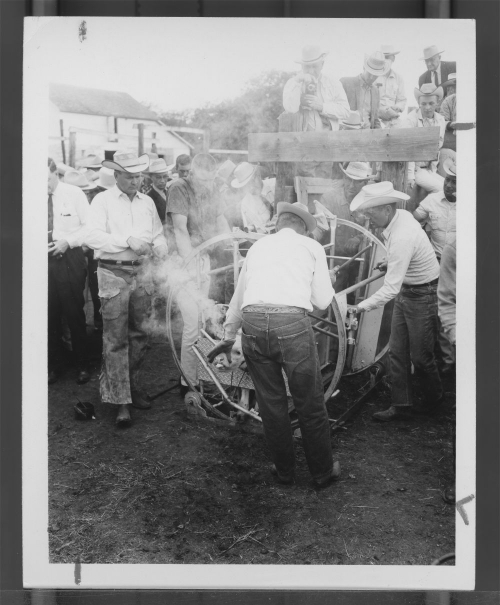 Branding a calf in a squeeze chute-a demonstration of calf branding in Chautauqua County, KS between 1960 & 1969 Source